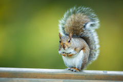 Ost-Grey Squirrel Lizenzfreie Stockbilder