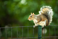 Ost-Grey Squirrel Stockfotografie