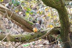 Ost-Grey Squirrel- oder Sciuruscarolinensis, das einen Apfel in einem Baum isst Lizenzfreie Stockfotografie