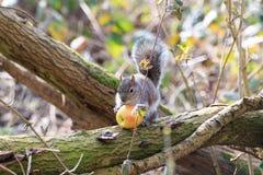 Ost-Grey Squirrel- oder Sciuruscarolinensis, das einen Apfel in einem Baum isst Lizenzfreie Stockfotos