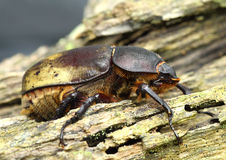 Ost-Hercules Beetle Stockbild