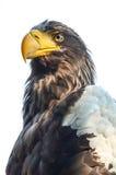 Ost- Kaiser-Eagle Lizenzfreie Stockfotografie