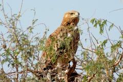 Ost- Kaiser-Eagle- - Aquila-heliaca Stockfoto