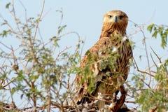 Ost- Kaiser-Eagle- - Aquila-heliaca Lizenzfreies Stockfoto