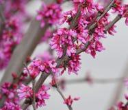 Ost-Knospen und Blüte Redbud Stockfotografie