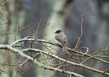 Ost-Phoebe Flycatcher-Vogel auf Niederlassung, Georgia, USA Stockfoto