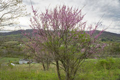 Ost-Redbud-Baum Stockbilder
