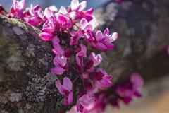 Ost-Redbud-Blume Stockfotos