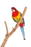 Ost-Rosella Parrot-Vogel Lizenzfreie Stockfotos