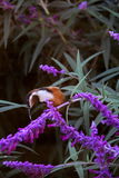 Ost-Spinebill - ein australisches Honeyeater Stockfoto