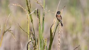 Ost-Stonechat-Vogel in Thailand, Asien stock video footage