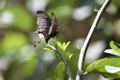 Ost-Tiger Swallowtail Butterflies, schwarze Schmetterlinge, Swallowtail-Schmetterlinge stockfotos