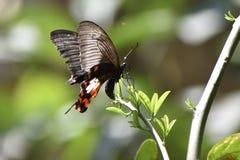 Ost-Tiger Swallowtail Butterflies, schwarze Schmetterlinge, Swallowtail-Schmetterlinge lizenzfreies stockbild