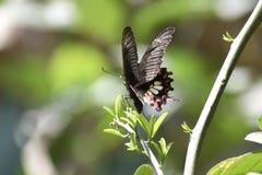 Ost-Tiger Swallowtail Butterflies, schwarze Schmetterlinge, Swallowtail-Schmetterlinge stockbild
