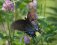 Ost-Tiger Swallowtail Female auf Klee Stockbilder