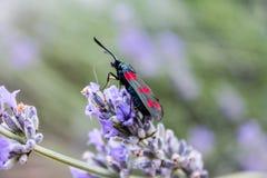 Ostacoli con le ali variopinte su un fiore porpora Fotografie Stock Libere da Diritti