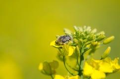 Ostacoli il hirta sul fiore del seme di ravizzone, macro di Tropinota Fotografia Stock Libera da Diritti