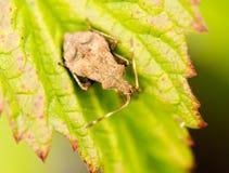 Ostacoli l'insetto su una foglia verde in natura Immagini Stock