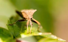 Ostacoli l'insetto su una foglia verde in natura Fotografie Stock