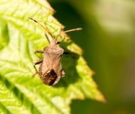 Ostacoli l'insetto su una foglia verde in natura Fotografia Stock Libera da Diritti