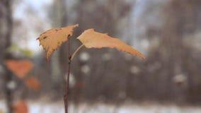 Ostatni żółtej brzozy liście zbiory
