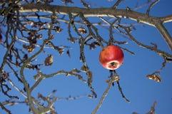 Ostatni jabłko Zdjęcie Royalty Free