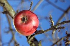 Ostatni jabłko Obraz Royalty Free