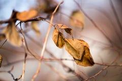 Ostatni jesień liść na drzewie Obrazy Stock