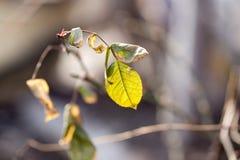 Ostatni jesień liść na drzewie Obraz Royalty Free