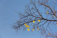 Ostatni kolorów żółtych liście w jesieni Fotografia Stock