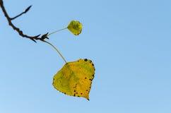 Ostatni liść drzewo W Opóźnionym spadku Zdjęcie Royalty Free