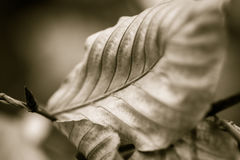 Ostatni liść jesień w Sepiowym Obraz Royalty Free