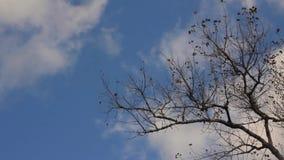 Ostatni liście na osiki gałąź zbiory wideo