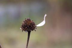 Ostatni płatek na kwiacie Zdjęcie Stock