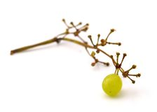 ostatni winogronowy berry obrazy stock