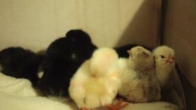 Ostatnio klujący się, mokrzy, nieświadomie, żółci nowonarodzeni kurczątka w inkubatorze, wciąż, Dostosowywali ściśle spadać, uśpi zbiory wideo