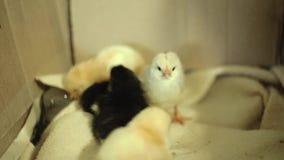 Ostatnio klujący się, mokrzy, nieświadomie, żółci nowonarodzeni kurczątka w inkubatorze, wciąż, Jeden małej dziewczynki spojrzeni zdjęcie wideo