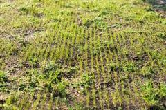 Ostatnio siający młodzi świezi ostrza trawa w długich rzędach obrazy stock