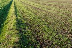 Ostatnio siający młodzi świezi zieleni ostrza trawa w długich rzędach r w pokruszonej ziemi Obok pola jest mumiowaty przykop Ja obraz royalty free