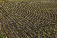 Ostatnio uprawiana kukurudza w bruzdach Zdjęcie Stock