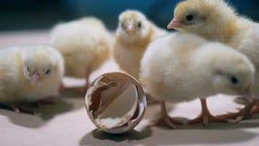 Ostatnio urodzeni kurczaki one awanturują wokoło łamanych eggshells zdjęcie wideo