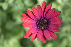 Osteaspermum 'Elite Ruby' Flowers Royalty Free Stock Photo