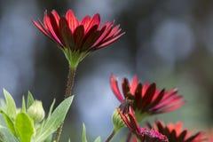 Osteaspermum 'Elite Ruby' Flowers Royalty Free Stock Image