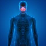Osteoalgie umane del cranio Fotografie Stock