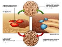 Osteoblast u. osteoclast Stockfoto