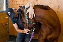Osteopata do cavalo Fotografia de Stock Royalty Free
