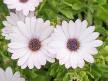 Osteospermum在庭院,非洲雏菊里开花 免版税库存图片