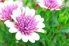 Osteospermum桃红色白花领域宏指令射击 库存照片