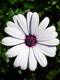 Osteospermum白色 免版税库存照片