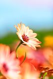 Osteospermum雏菊花 库存照片